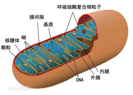 线粒体 – 人体细胞能量来源