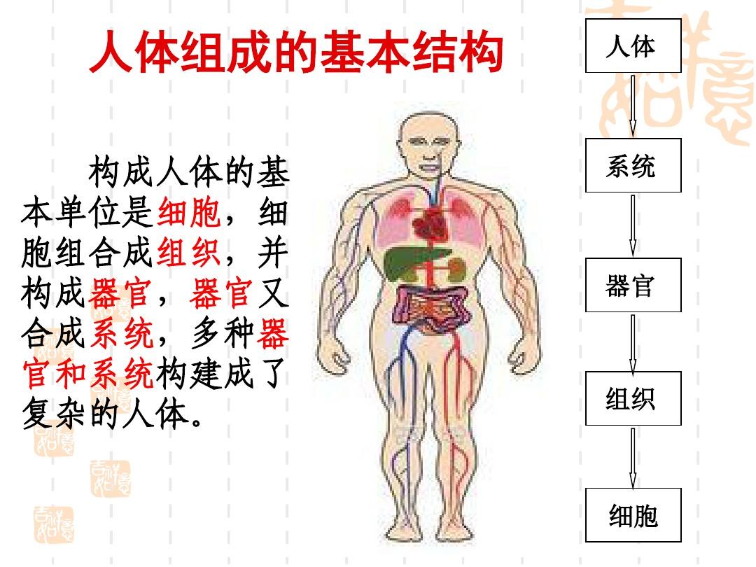 人体的构成单位顺序